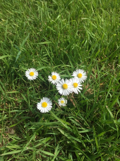 Some cute daisies I found