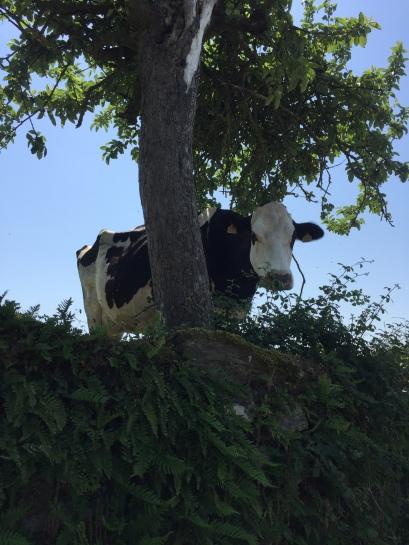 My cow friend